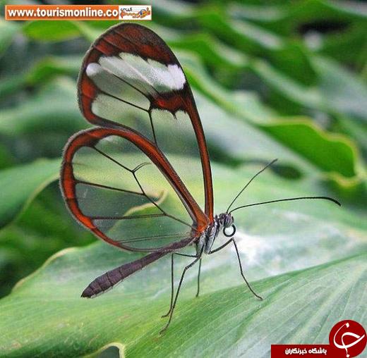 حیوانات عجیبی که پوست شیشهای دارند!/ این حیوانات زنده هستند؛ میتوانید داخل بدنشان را ببینید! +تصاویر
