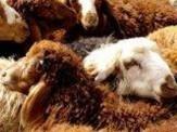 باشگاه خبرنگاران - 8 هزار راس گوسفند، حاصل تکثیر موفقیت آمیز ژنی در استان زنجان
