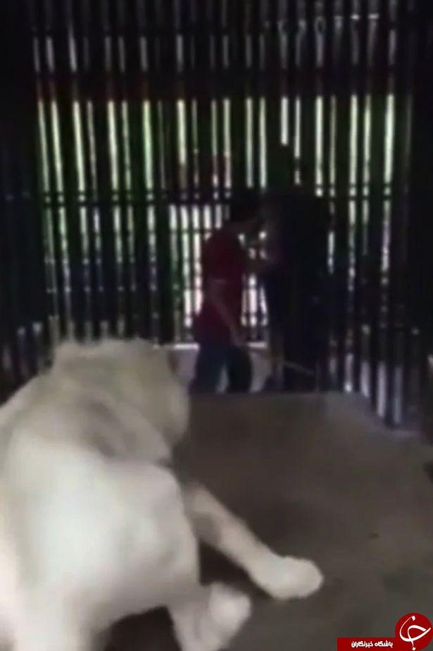 حمله شیر خشمگین به توریست ولزی در باغ وحش تایلند+ تصاویر