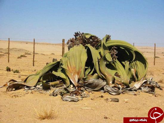 عجیبترین و زشتترین گیاه دنیا +عكس
