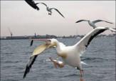 باشگاه خبرنگاران - پرواز زیبای پلیکانها در «گهرباران» + فیلم