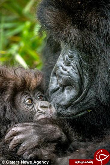 عشق گوریل مادر به فرزند +تصاویر