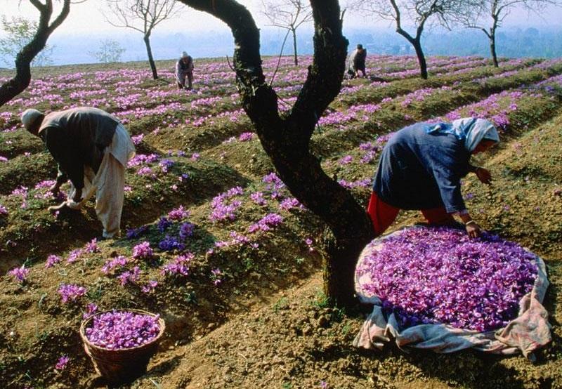 تجارت پرسود بیگانگان با رنج ایران/ دزدی آشکار برند زعفران ایرانی توسط خارجیها