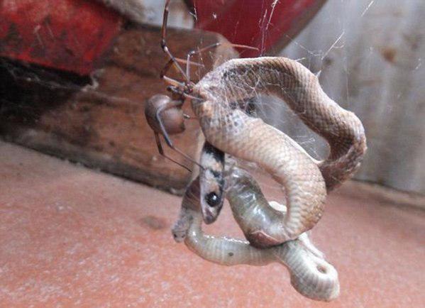نتیجه حیرت انگیز نبرد میان مار و عنکبوت+تصاویر