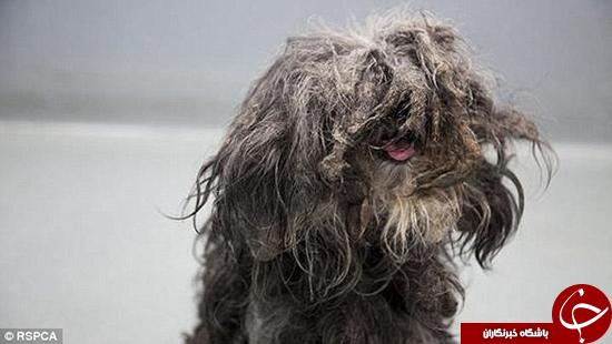 سگی که چند سال موهایش کوتاه نشده بود +تصاویر