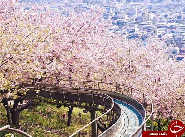 خیابان های ژاپن پوشیده از ساکورای صورتی