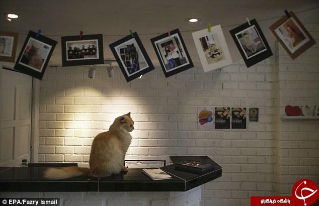 نخستین هتل 5 ستاره دنیا برای گربه ها+ تصاویر