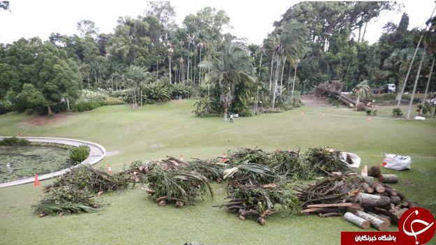 سقوط مرگبار درخت 270 ساله در سنگاپور + تصاویر