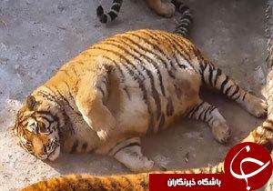 ببرهای چاق در باغ وحش چین + فیلم
