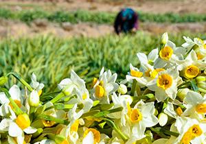 آغاز برداشت گل نرگس در فارس