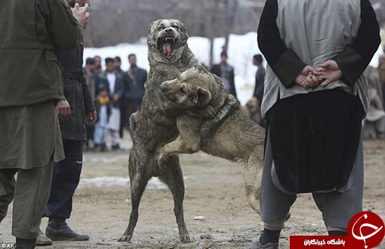 مبارزه سگها در بازار +تصاویر