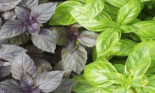 کاهش علائم سرماخوردگی با این گیاه معطر