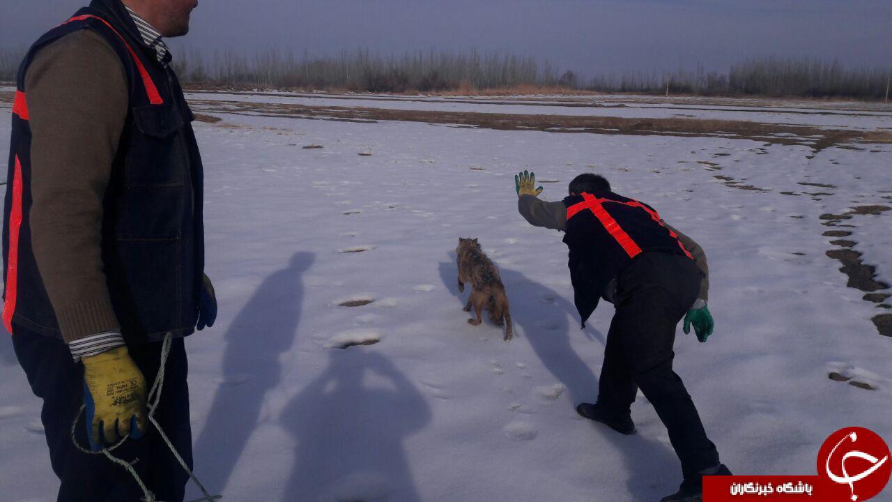 بازگرداندن گرگ گرفتار به طبیعت توسط آتش نشان ها + فیلم وتصاویر