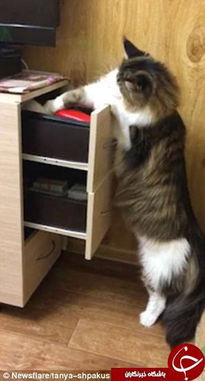 گربهای که مجبور شد خودش باز کردن کشو را باد بگیرد +تصاویر