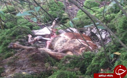 تلف شدن یک راس گاو به علت حمله پلنگ + تصاویر