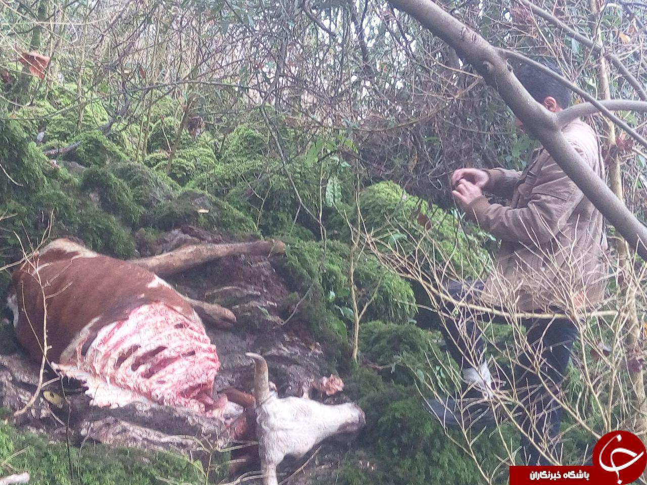 حمله پلنگ به یک راس گاو+ تصاویر