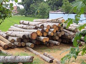 قیمت چوب درخت صنوبر