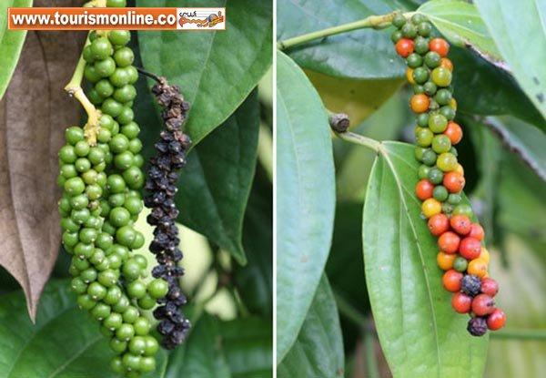عجیبترین میوهها و سبزیجات، با رشدی باورنکردنی! +تصاویر