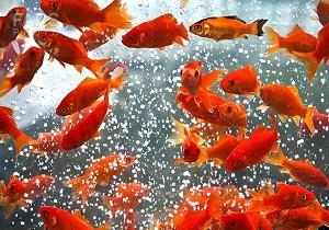 از خرید ماهی های زینتی از دستفروشان خوداری کنید