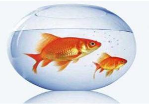 هشدار؛ دست زدن به ماهی قرمزها ممنوع!