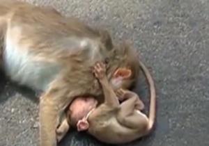 صحنهای غم انگیز از یک بچه میمون در خیابان + فیلم