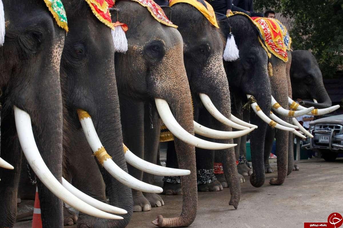 بزرگداشت روز ملی فیل در تایلند! + تصاویر