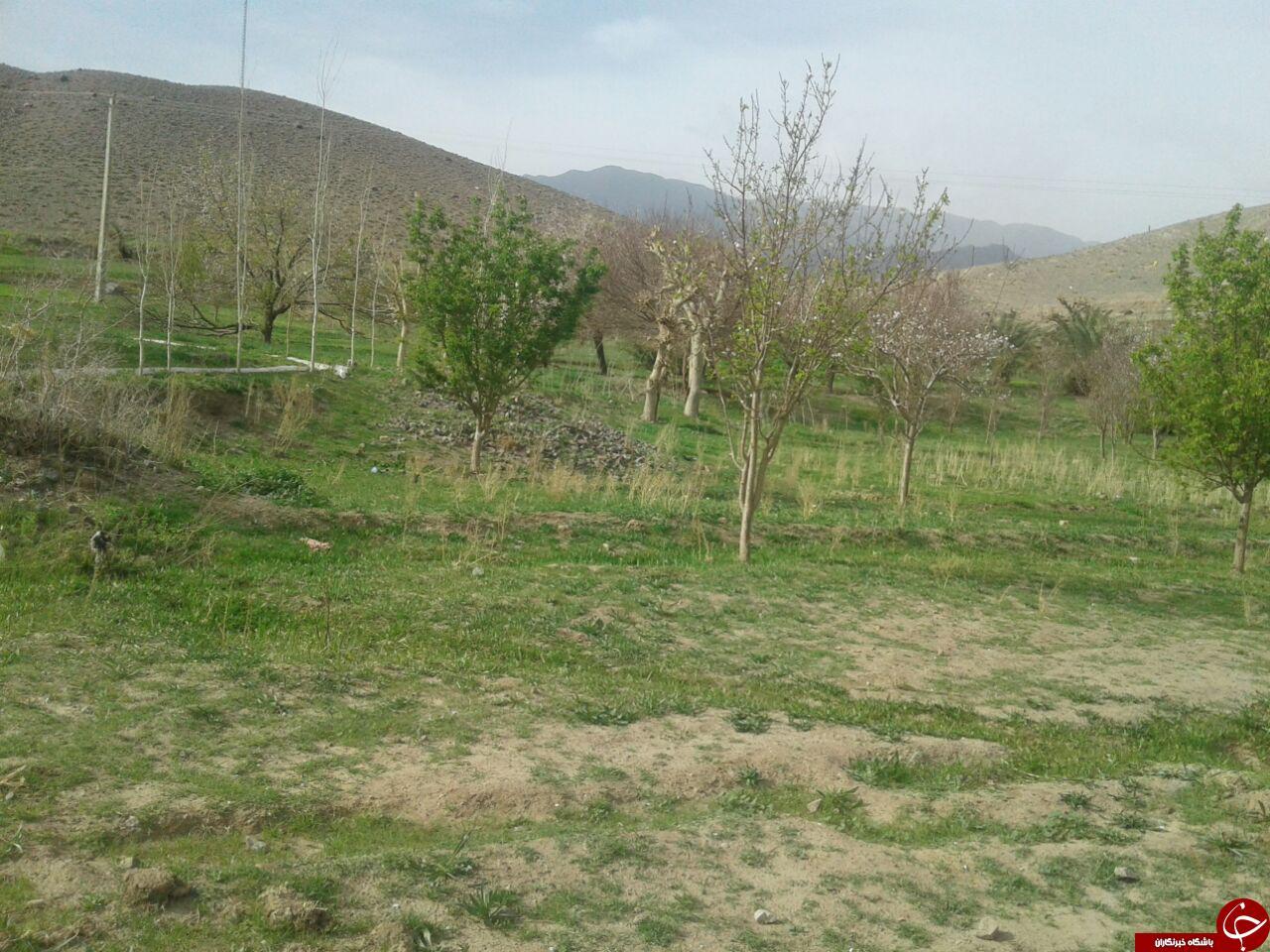شکوفا شدن درختان با رسیدن بهار + تصاویر