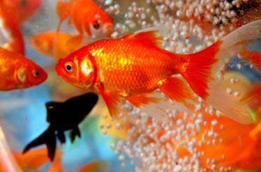قاچاق ماهیهای قرمز بلای جان رودخانههای تهران