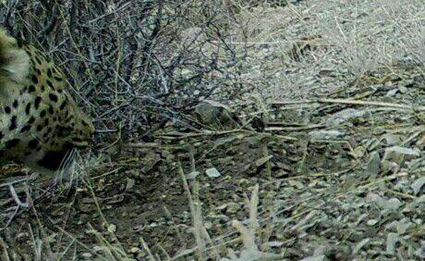 برای نخستین بار حضور پلنگ در نیشابور به اثبات رسید