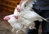 باشگاه خبرنگاران -کشف بیش از 3 هزار قطعه مرغ زنده قاچاق در ایرانشهر