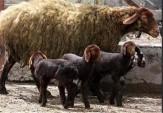 باشگاه خبرنگاران -توان تولید 3تا 4 بره در هر زایش با اجرای طرح اصلاح نژاد گوسفند افشاری