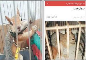 سنجاب های وحشی در دام های فروش غیرمجاز