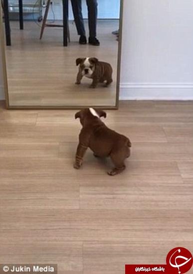 باشگاه خبرنگاران -این سگ با خودش هم دعوا دارد +تصاویر