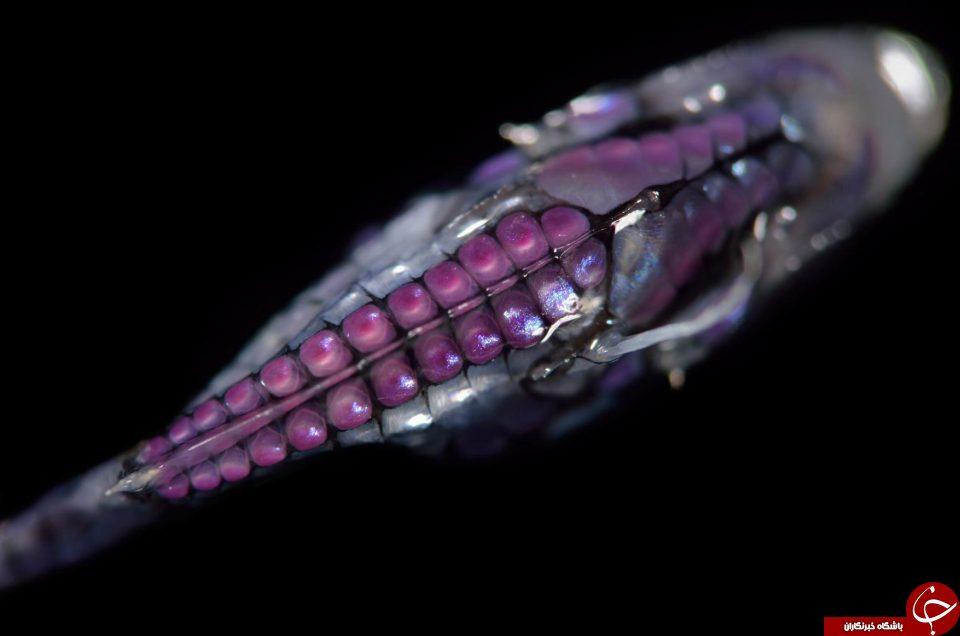موجودات عجیب دریایی که شاید تا بحال ندیده اید + تصاویر