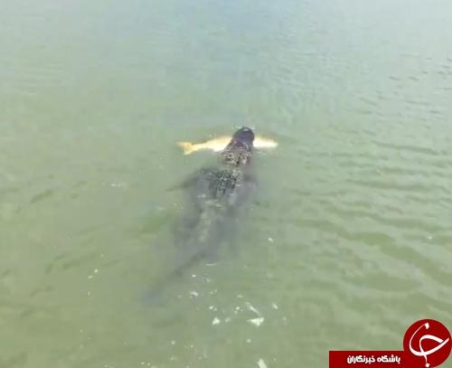 تمساح دزد به دنبال طعمه حاضر و آماده + فیلم