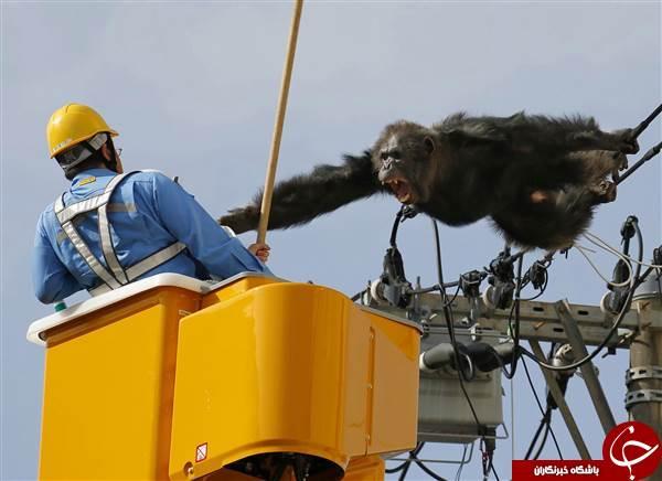 شامپانزه فراری کابلهای برق را با درخت اشتباه گرفت+عکس