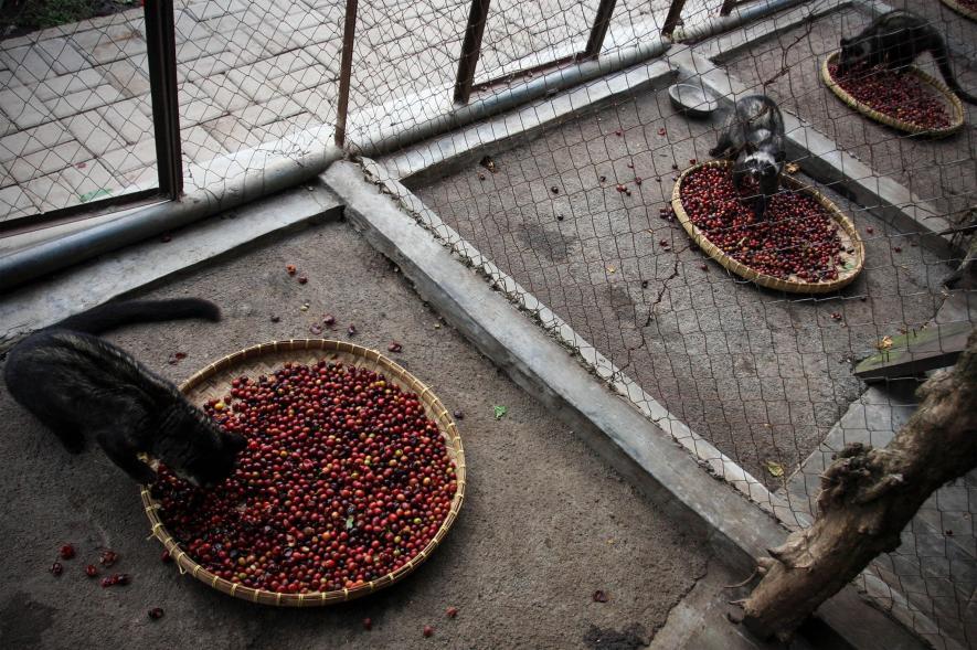 راز کثیف و مشمئزکننده در تولید گرانترین قهوه جهان چیست؟+تصاویر
