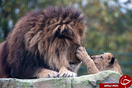 رابطه تحسین برانگیز شیر پدر و پسرش پس از مرگ غمانگیز مادر + تصاویر