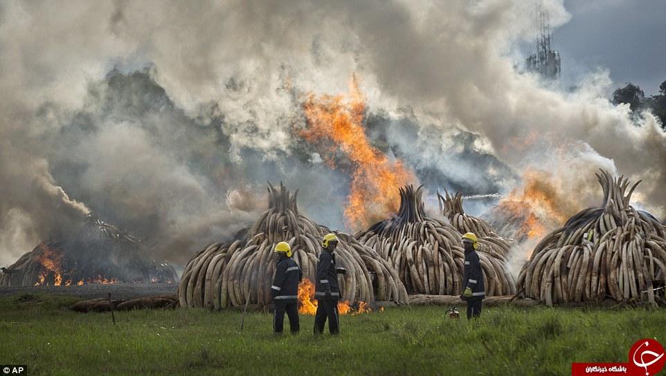 سوزاندن هزاران عاج فیل در کنیا+تصاویر