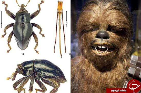 گونهی جدید سوسک پس از شخصیت جنگ ستارگان نامگذاری شد + تصاویر