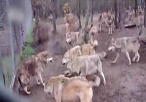 دانلود فیلم اسارت سگ توسط گرگ ها
