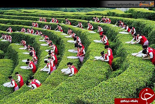 عکسی زیبا از مراسم برداشت چای در مزارع چین