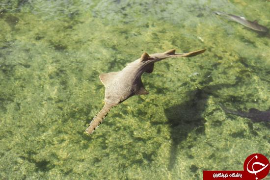 صید یک اره ماهی عجیب + عکس