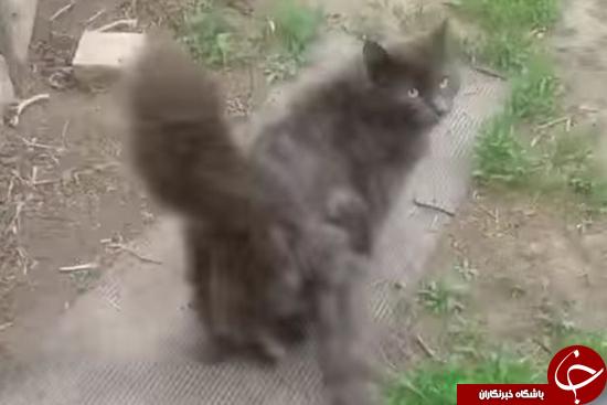 4483651 125 گربه سه دم + تصاویر