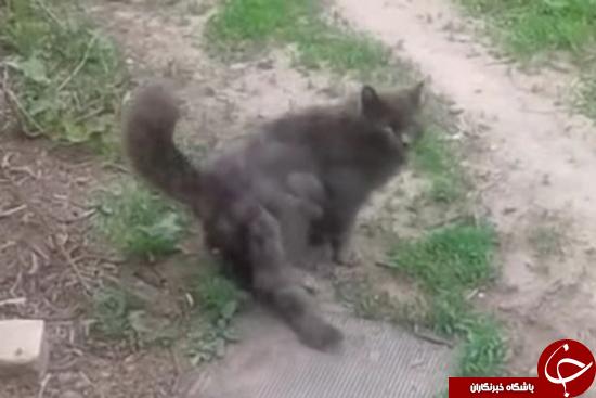 گربه سه دم + تصاویر
