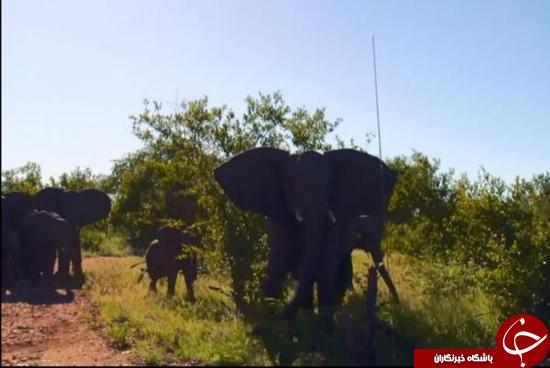 گیر افتادن در بین فیلها + عکس