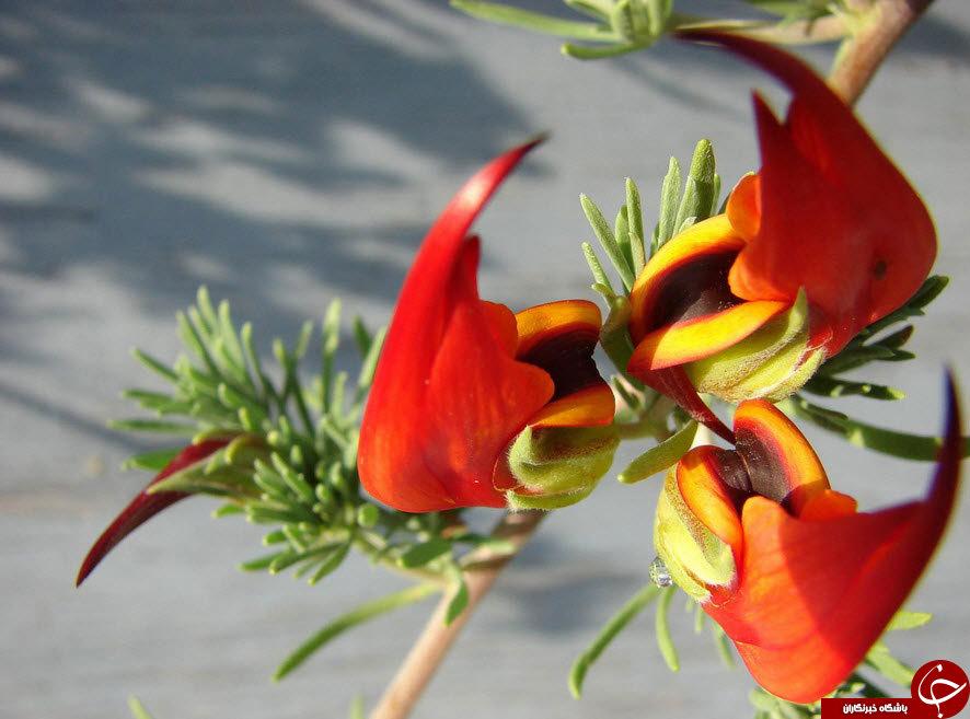 زیباترین وکمیاب ترین گلهای جهان+تصاویر