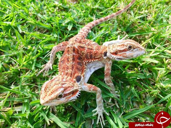 نادرترین مارمولک کلکسیون حیوانات عکس مارمولک حیوانات عجیب دنیا حیوان دوسر جانور دوسر