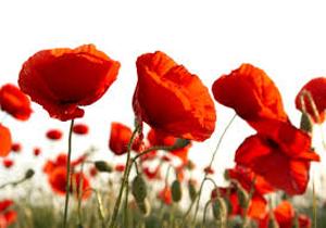 دشت گلهای شقایق در روستای باغبزم + فیلم