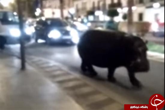 اسب آبی فراری از سیرک ترافیک را عبور و مرور را مختل کرد + تصاویر
